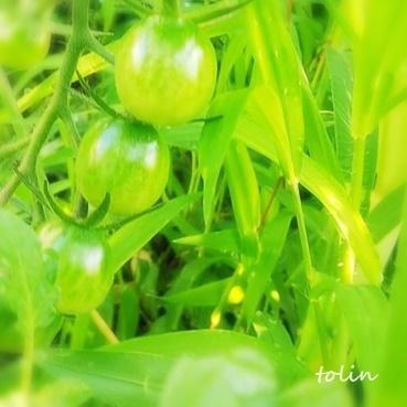 tomato2.JPEG