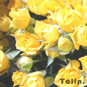 y-rose.jpg